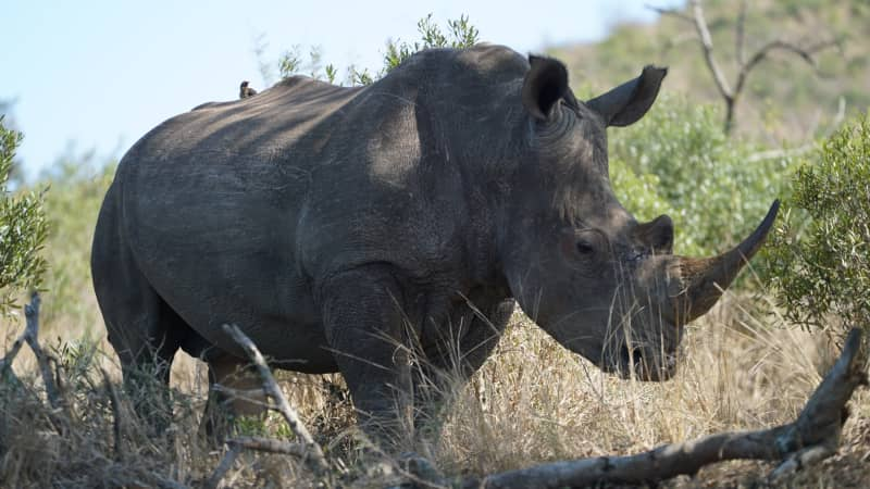 Hluhluwe Imfolozi Park has brought in advanced technology to protect southern white rhinos from poachers.