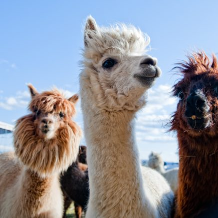 Group of llamas